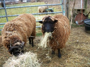 In case you were wondering what we do with all that hay we buy . . .
