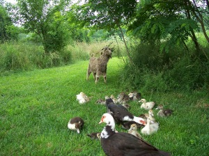 happy muscovy family with friend - Copy