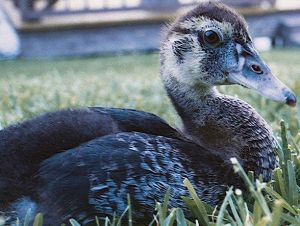 . . . a fledgling. Sort of the teenager of the Muscovy world.