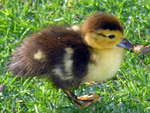 Here's a young duckling who very soon will grow to be . . .